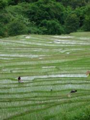 Riziculture. Photo Marchés d'Asie.